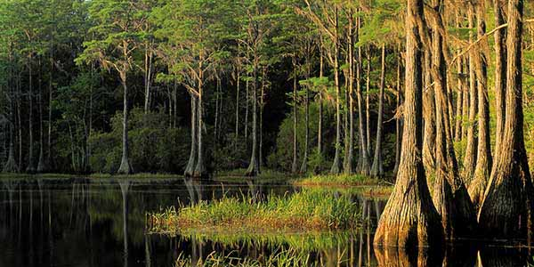 Cypress trees grow out of black water.