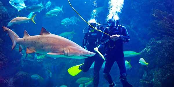 A couple scuba diving with sharks