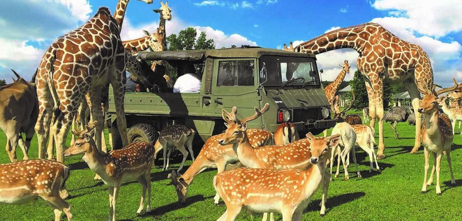 Tangipahoa Parish Giraffes and deer gather around an olive-green military-type vehicle.