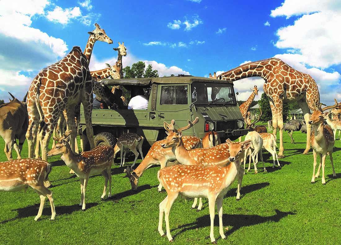 Tangipahoa Parish Giraffes and deer gather around an olive-green military-type vehicle.