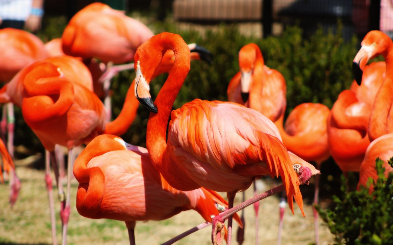 Bright orange flamingos at OKC zoo