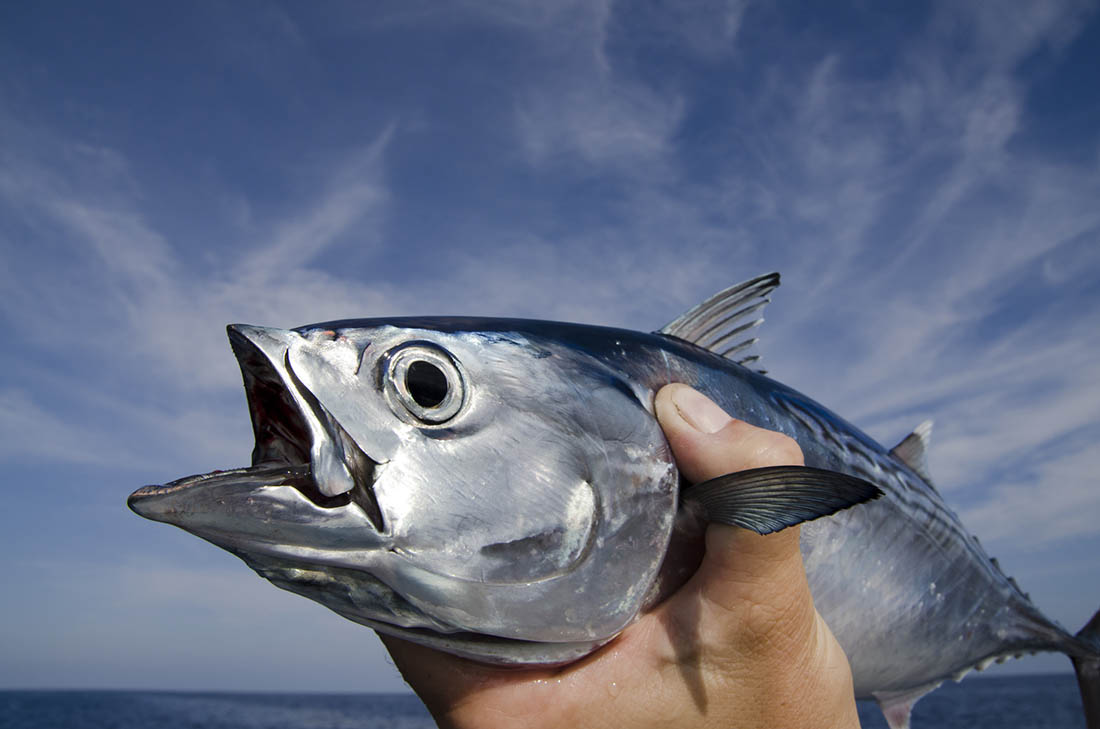 An angler holds up a silver fish with mouth wide open.