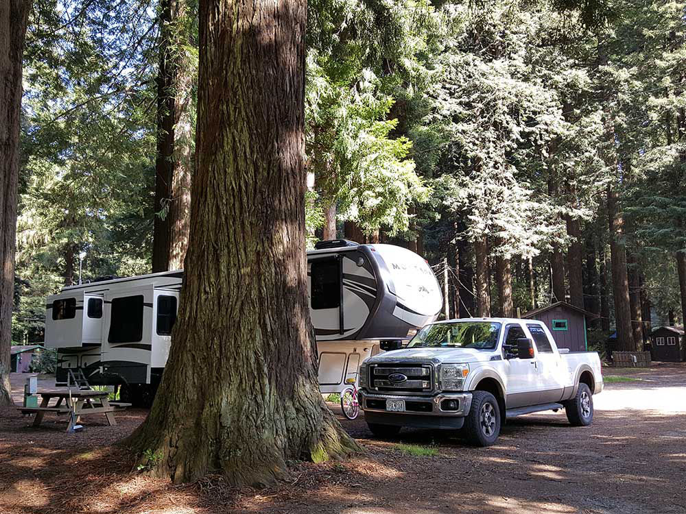 A truck and fifth-wheel parked under tall redwood trees.