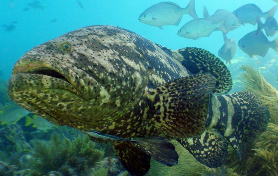 Massive Goliath Grouper