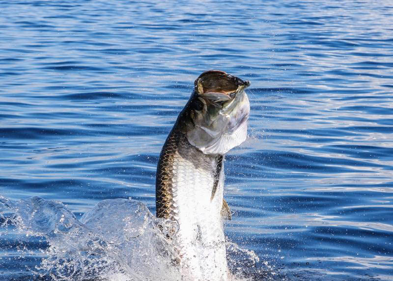 A silver tarpon bursting out of the water.