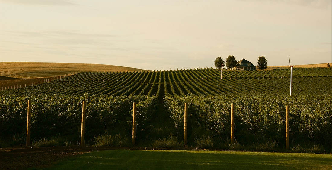 Rows of grape vines carpet gently rolling hillsides.