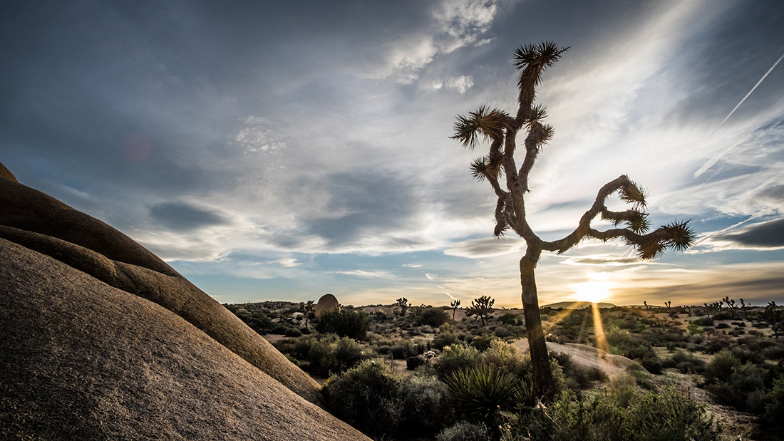 The namesake tree of Joshua Tree National Park against a sunset.