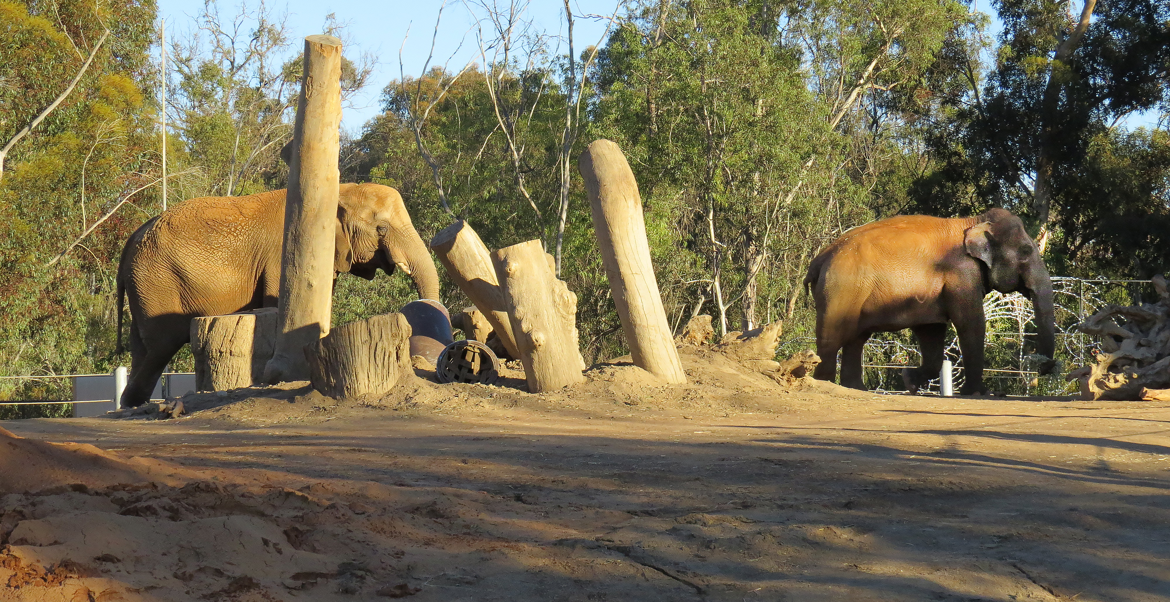 A pair of elephants in a roomy open-air enclosure.