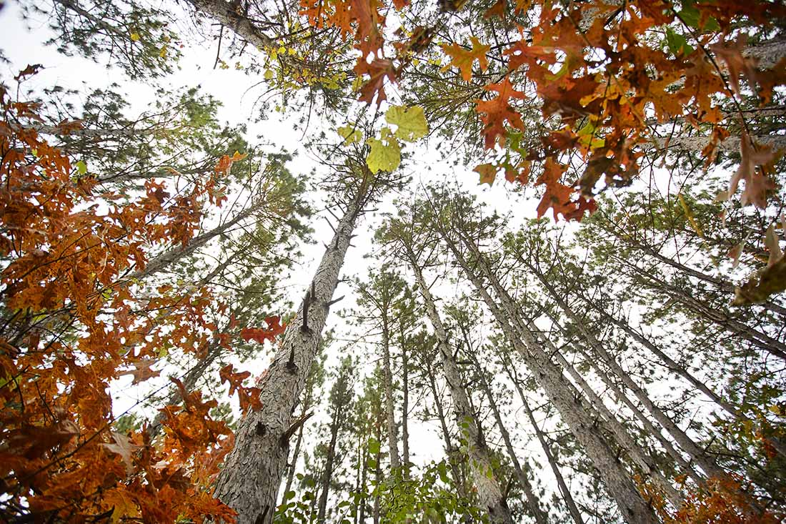 Oak and pine trees in the fall in Minnesota