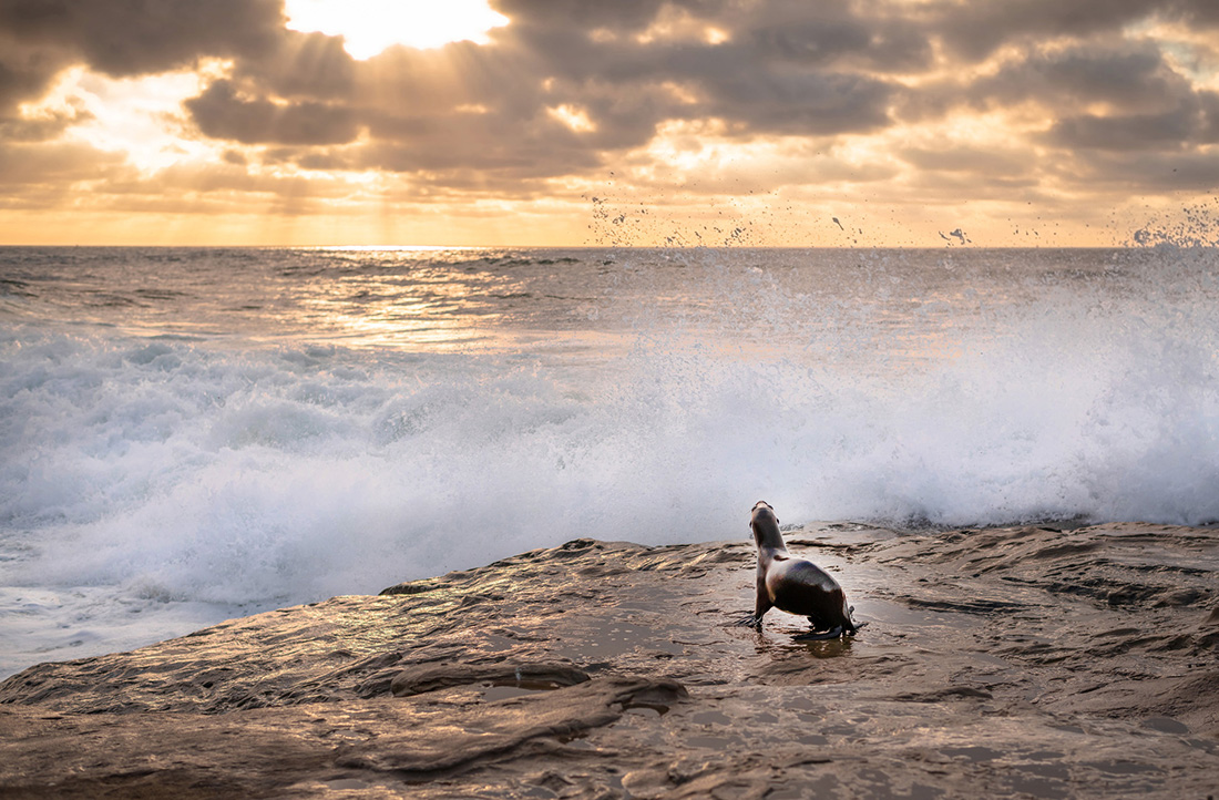 A Sea Lion surveys a wall of water from the wave crashing on the rocks during a golden sunset