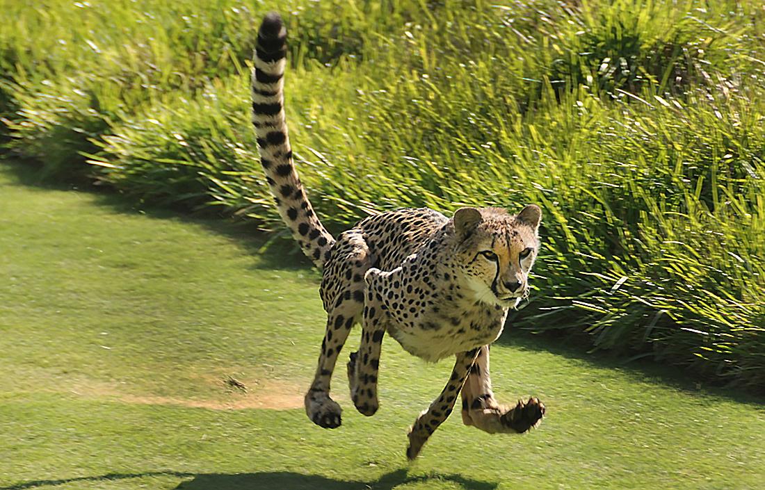 Cheetah running at high speeds