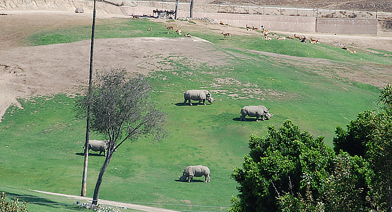 Rhinos grazing on a grass field