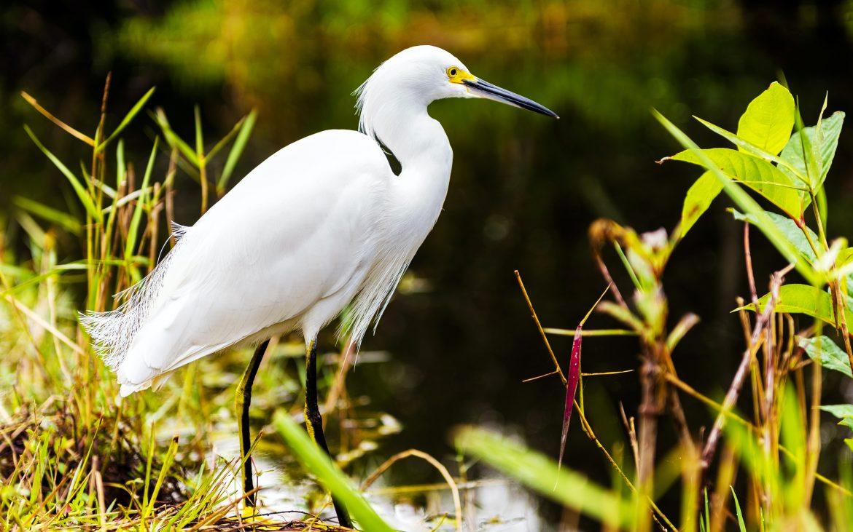 Snowy Egret, Everglades, Florida