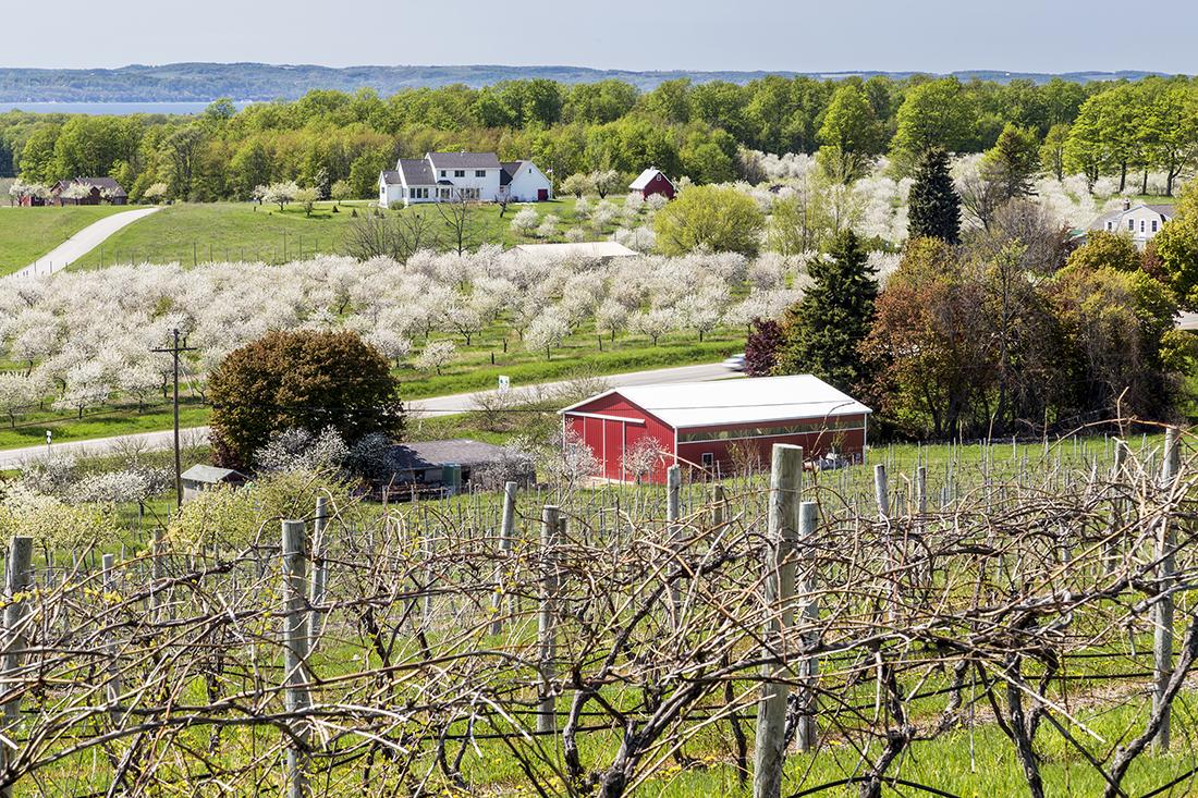 Nice landscape of Cherry Blossom in Traverse City, Michigan.