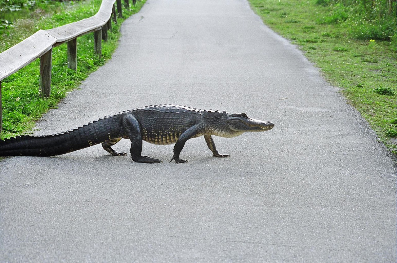 A gator crossing a paved path.