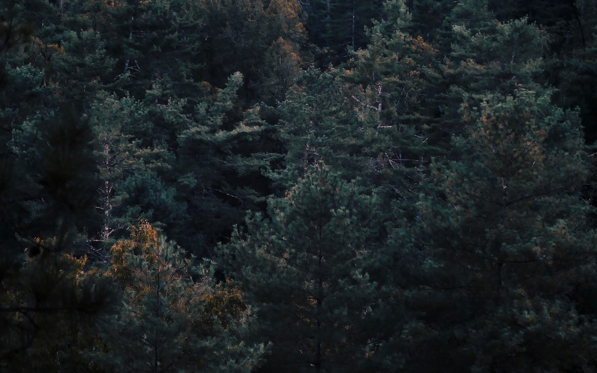 Dark green treetops on the hillside in Red River Gorge.