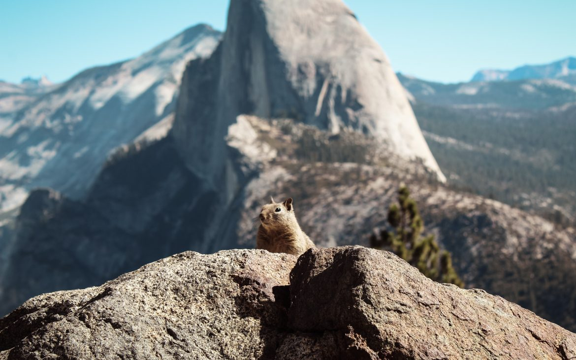 Squirrel peering over large rock in Yosemite