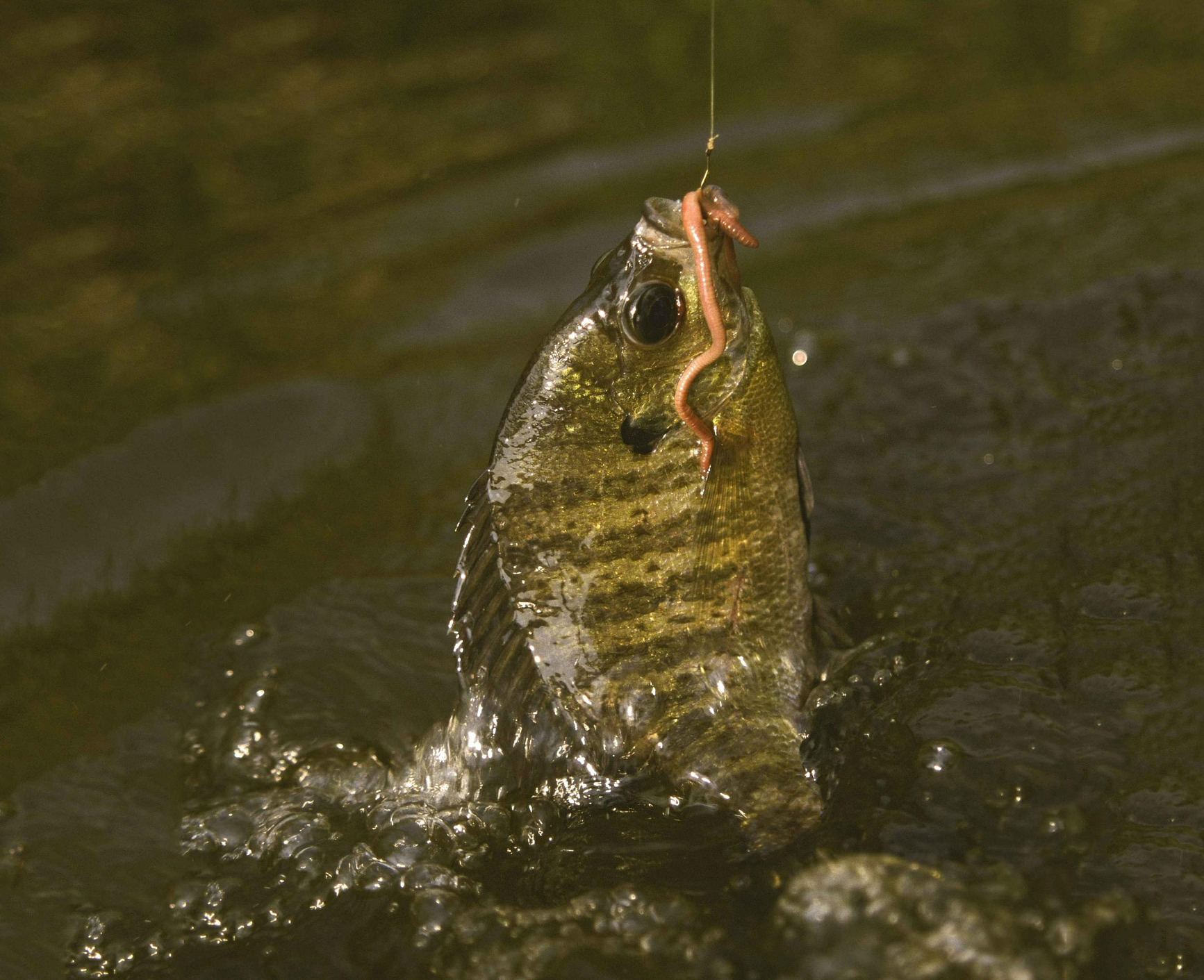 A bluegill bits on a line after a worm.