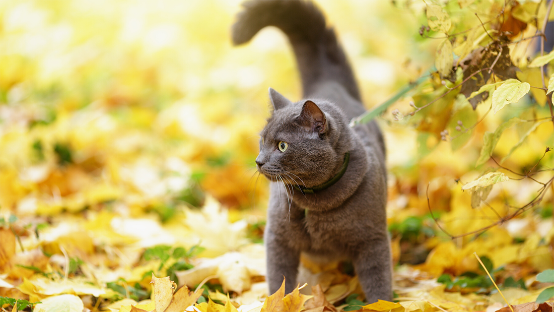 A cat on a leash explores nature