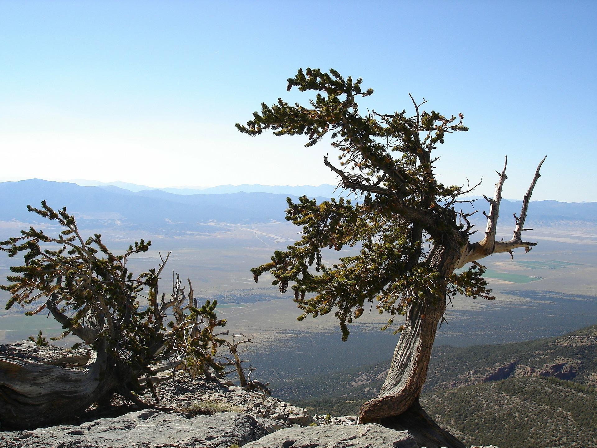 Bristlecone pine in Great Basin