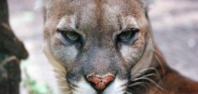 Closeup of a mountain lion's face