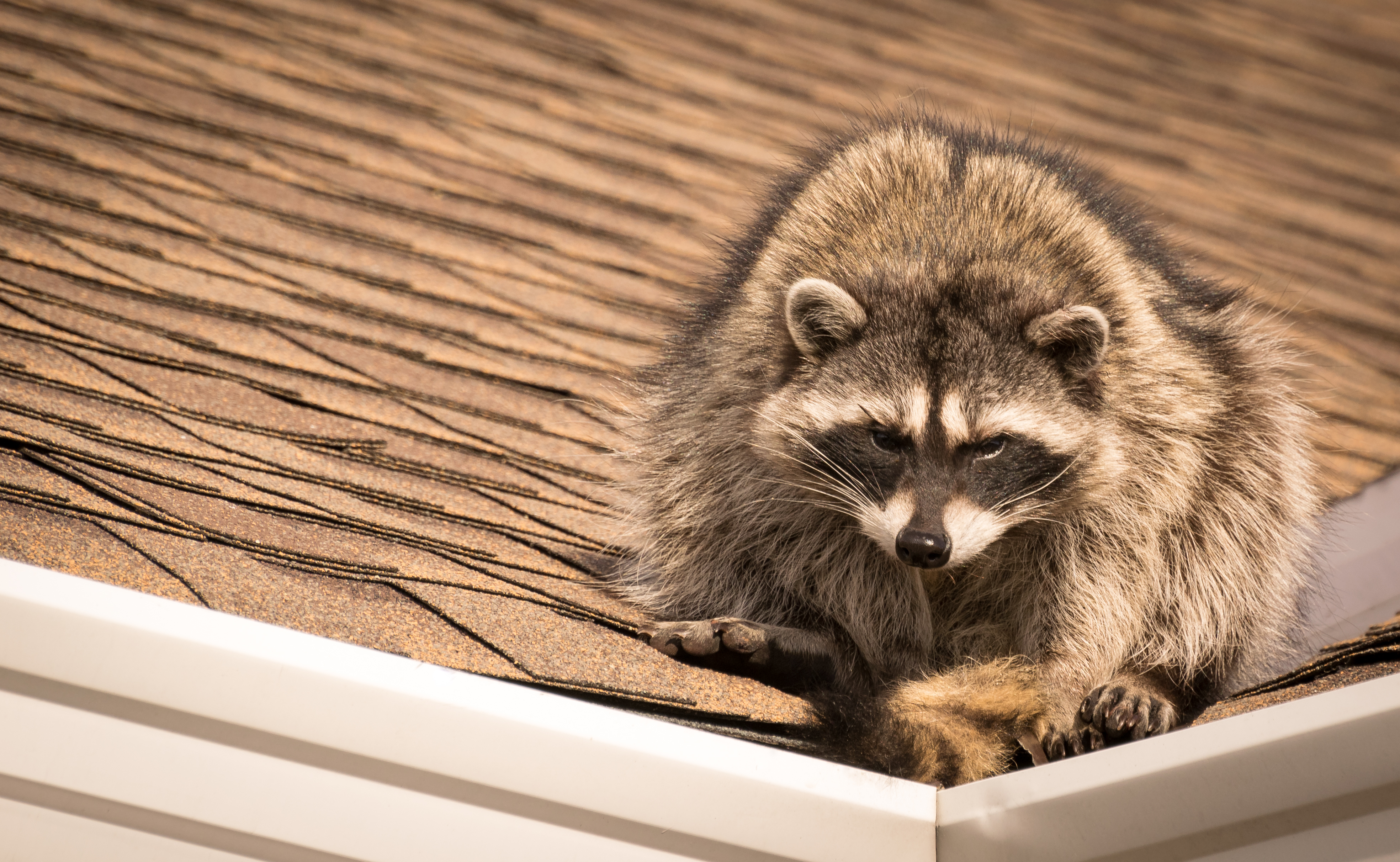 A raccoon perched on the corner of a roof.