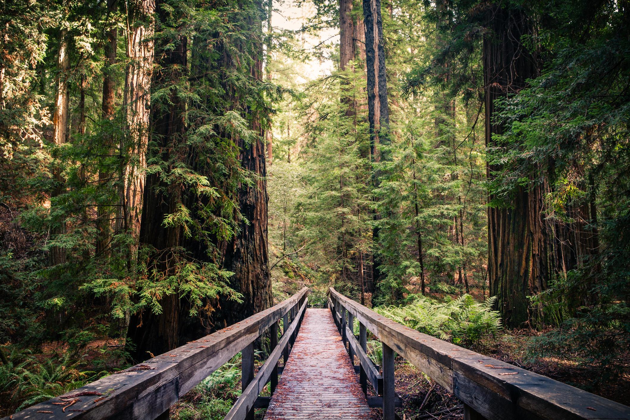 Trail through redwood forest.