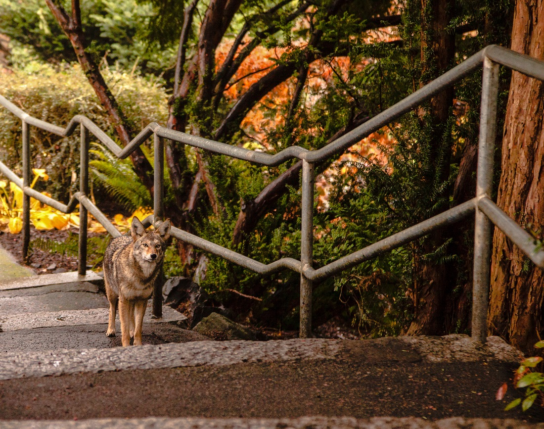 Coyote ascending stairs in a park.