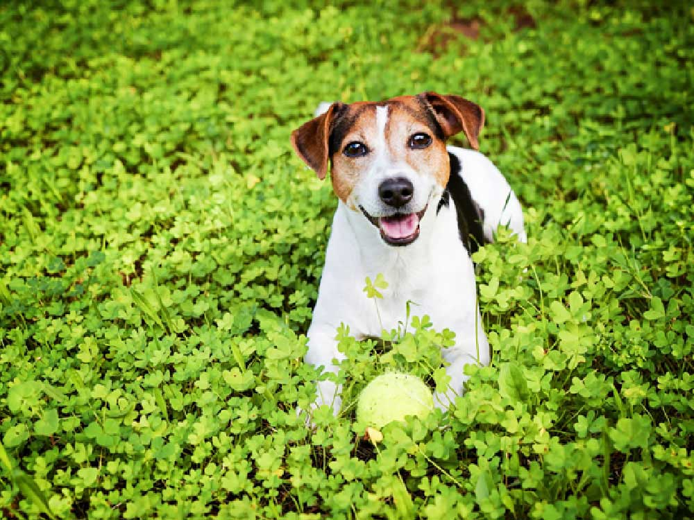 Dog with a ball in a field of clovers.