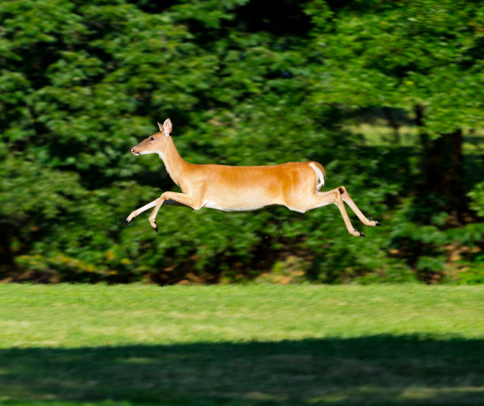 A deer jumping.