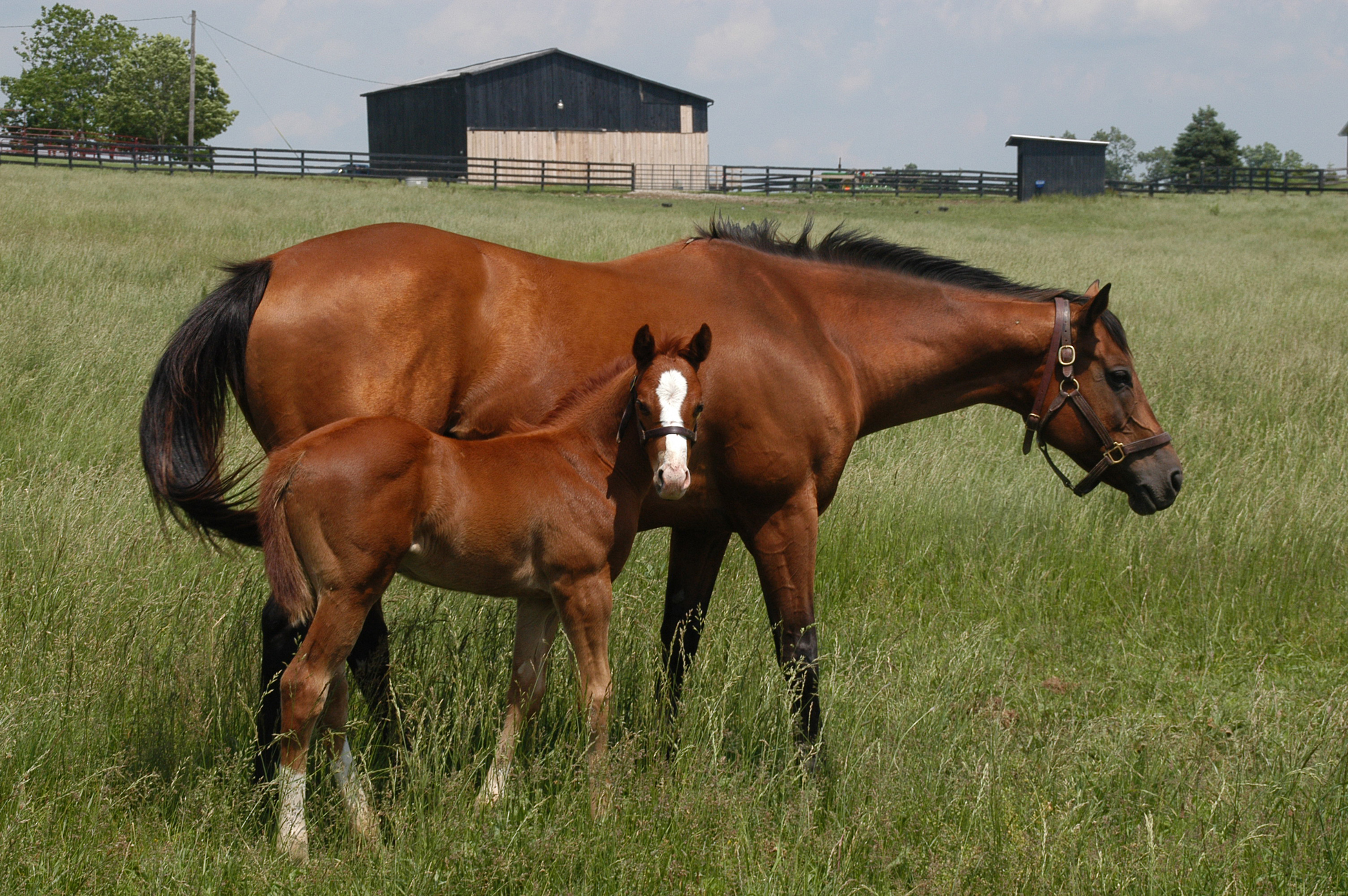 A thoroughbred mare and her foal dine on the blue grass.