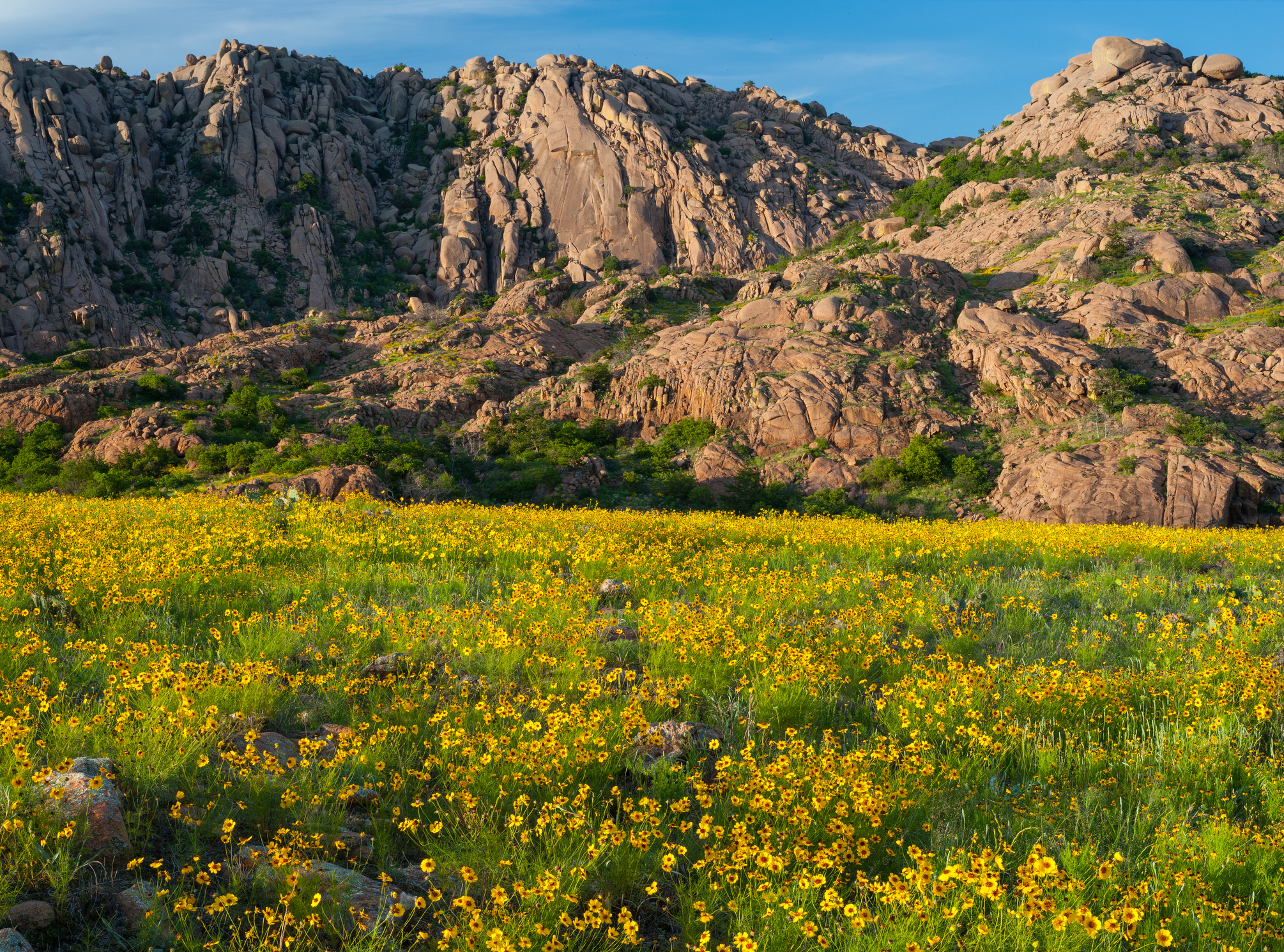 Field of coreopsis wildflowers at Elk Mountain in the Wichita Mountains of Oklahoma.