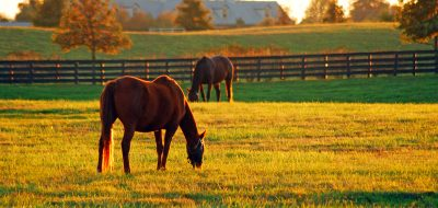 Kentucky and Virginia Two horses grazing late afternoon in Kentucky