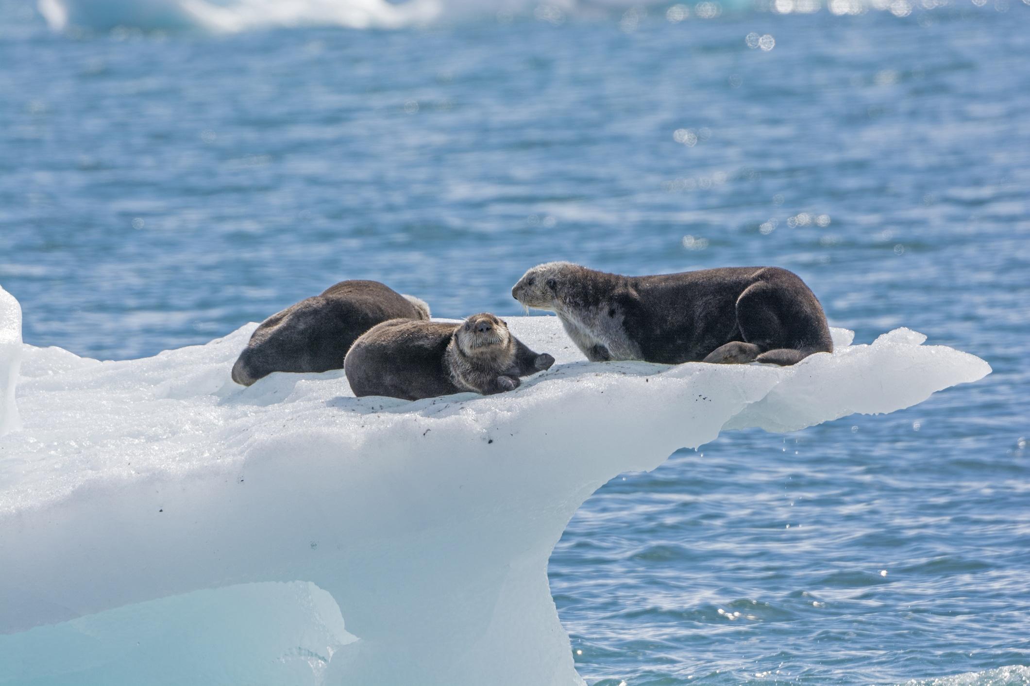 Three sea otters on an iceberg