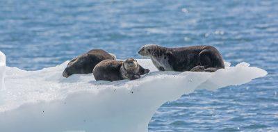 Otters on an ice shelf