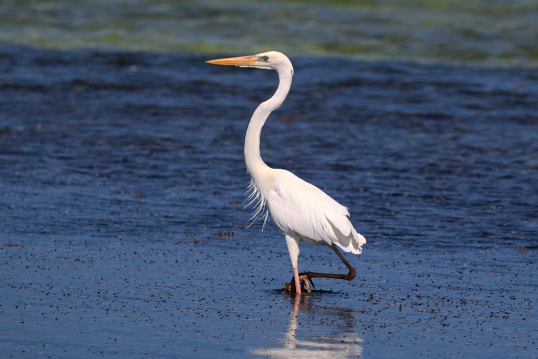 Heron walking along a beach