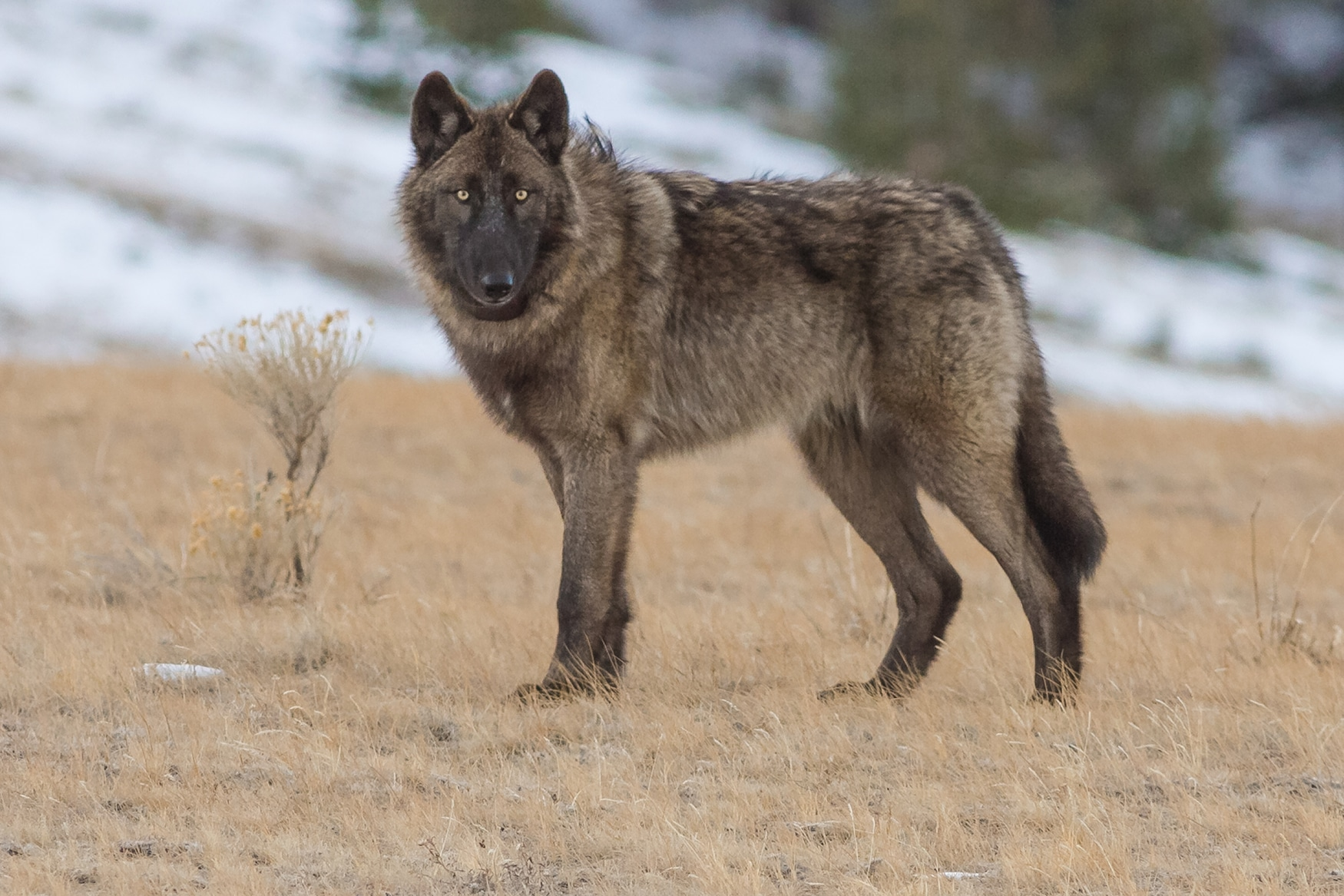 A wolf stares at the camera.
