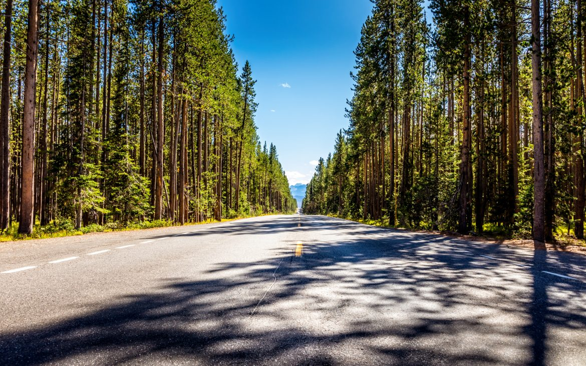 Road from Yellowstone National Park to Grand Teton National Park with large pine trees on both sides of the road