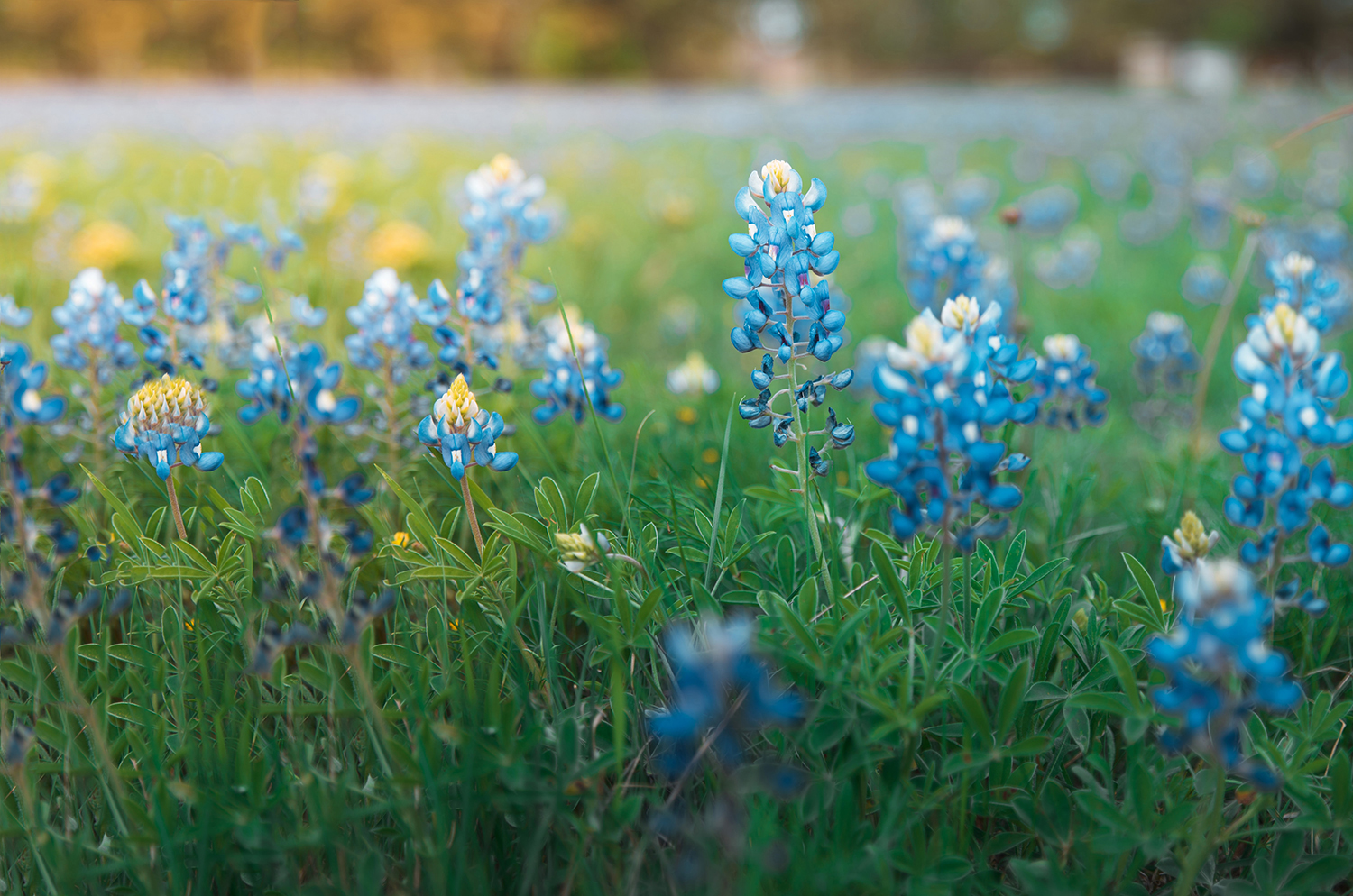 A field of blue bonnets.