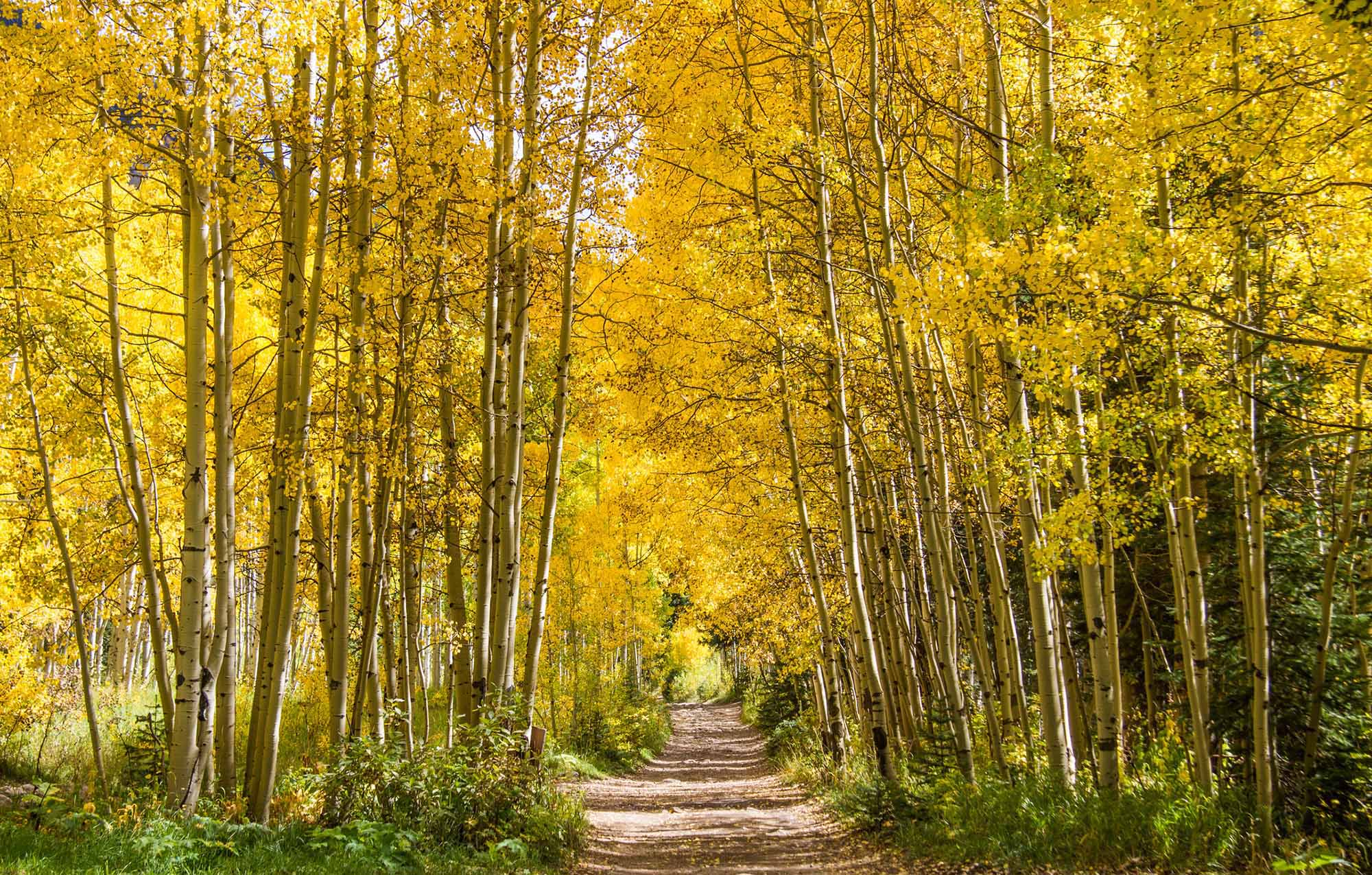 Blazing aspen trees form tower over a trail.