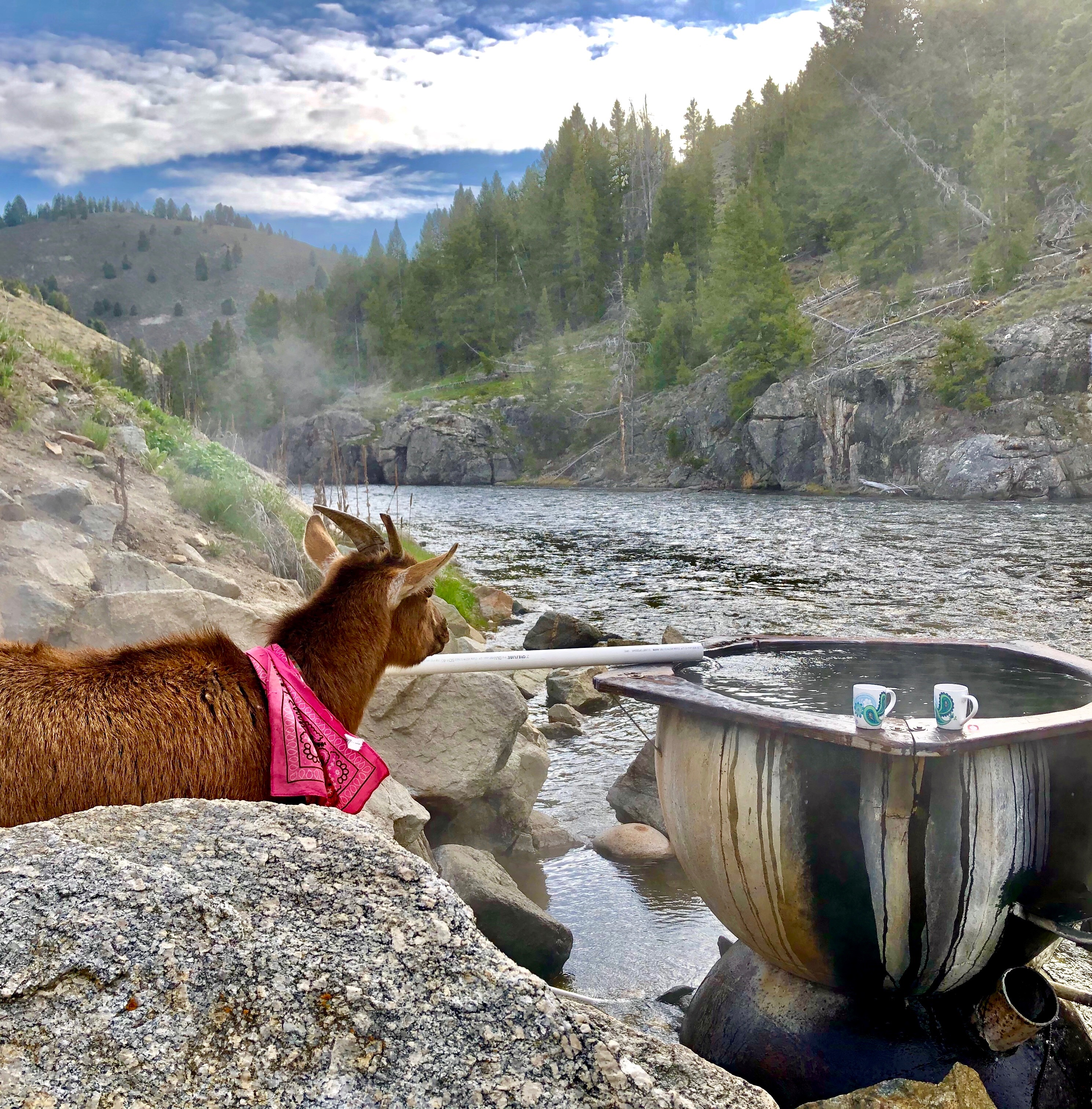 A goat looks at a stream.