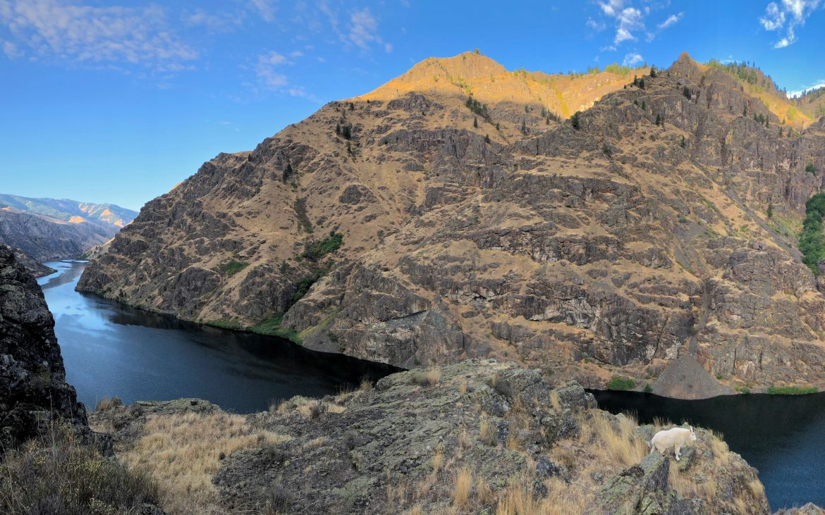 A mountain goat Perched above Hells Canyon