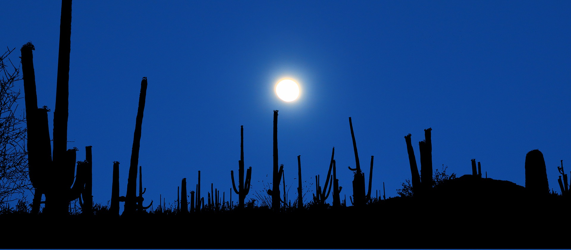 Cacti silhouetted against dark blue sky.