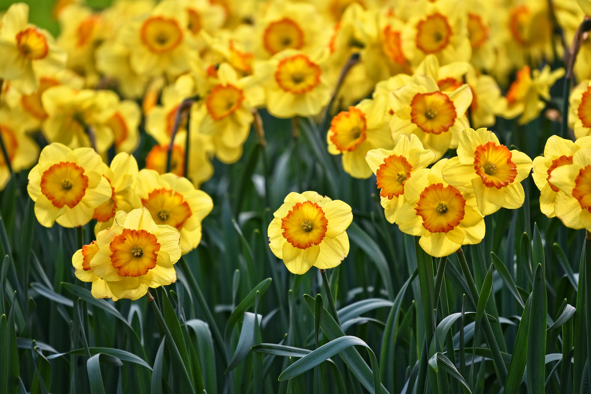 A field of daffodils in bloom
