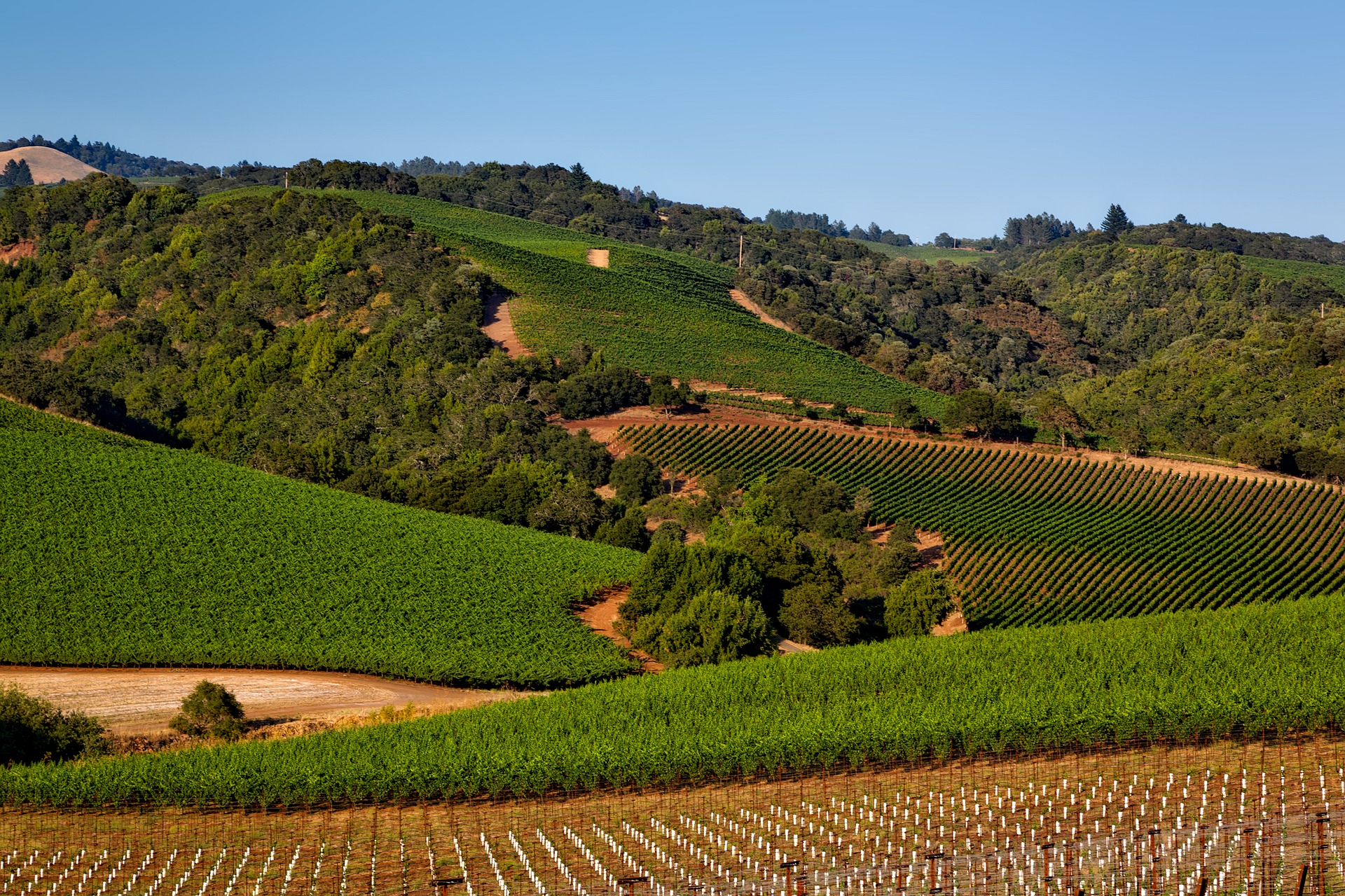Rolling hills carpeted with vineyards.