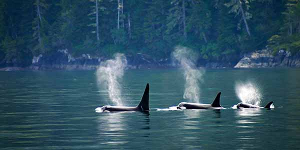 Three orcas or killer whales in a row