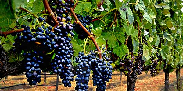 A vine of grapes