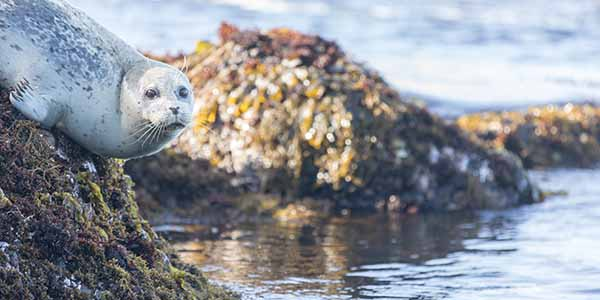 A sea otter sitting on a rock