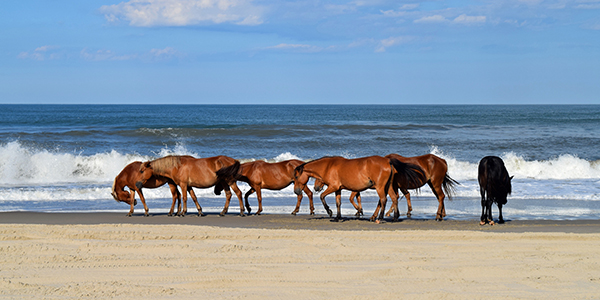 Wild Mustangs on the beach in Outer Banks