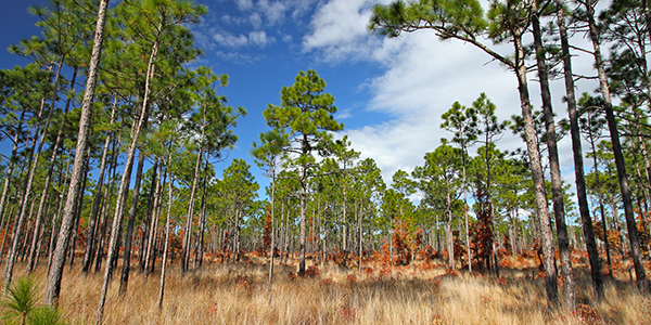 Towering pines and golden grasses under clouds and blue sky